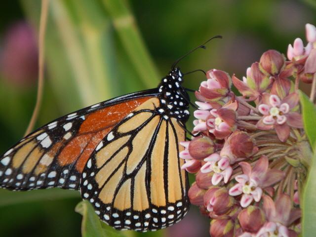 butterflyky